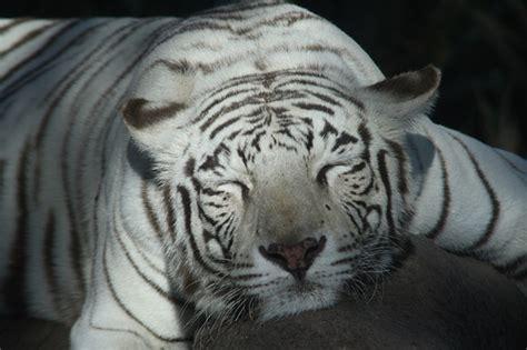imagenes tumblr de tigres tigres de bengala re tiernos taringa