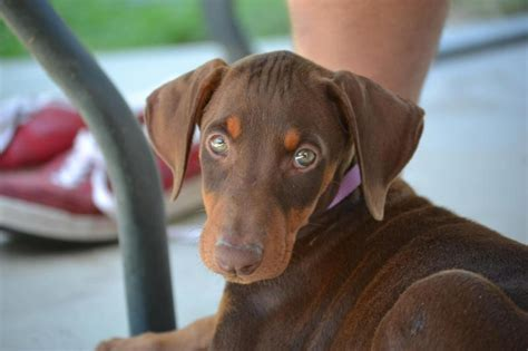 cortana show me pictures of floppy eared dogs new red doberman pinscher puppy duw page 2