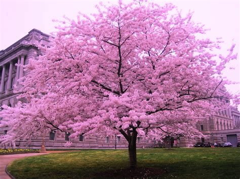 cherry bloosom tree cherry blossom trees dreams meaning interpretation and