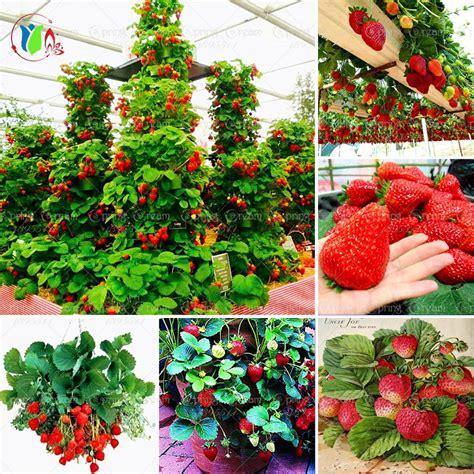 climbing strawberry plants climbing strawberry plants reviews shopping
