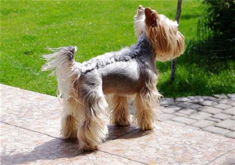 pictures of boy yorkies yorkie haircuts 100 terrier hairstyles pictures yorkiemag