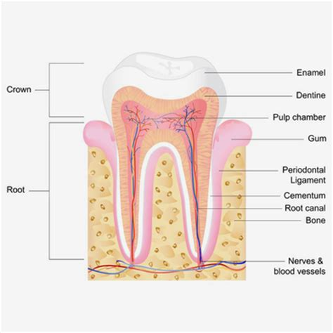 diagram of a tooth to label root canals a snelson d d s