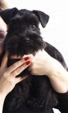 show me some hair cuts for miniature schnauzers schnoodle hair cuts schnoodle haircuts my loving