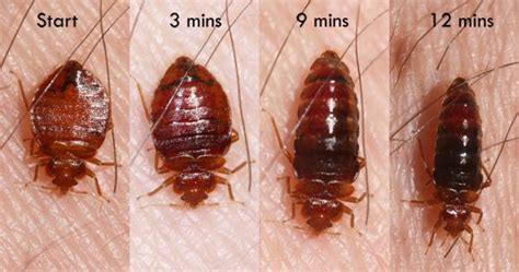 female bed bug bed bugs go through a series of stages in their life