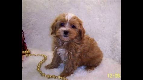 maltipoo puppies for sale near me malti poo puppies puppies puppy