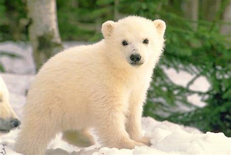 bbbear polar animals zoo park polar cubs pictures polar