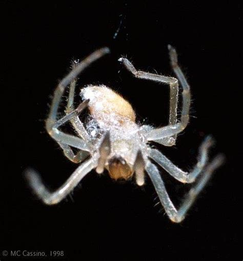 white house spider common house spider spider2 jpg image only
