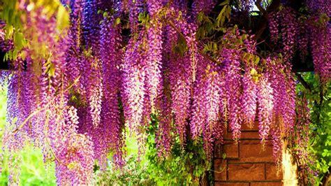 wisteria wallpaper beautiful wisteria wallpapers hd