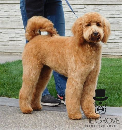 goldendoodle southern indiana 12 best images about doodle grooming on coats
