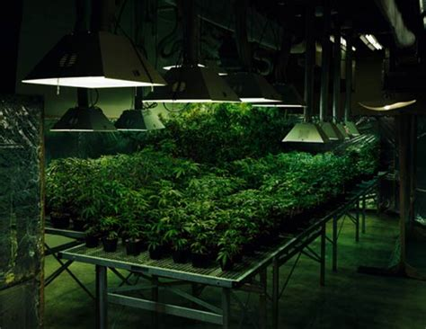 cannabis grow room marijuana grow room pics