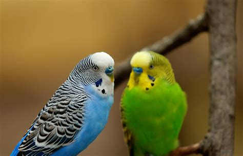 Buys A Parakeet by 5 Things You Need To About Parakeet Care Petcha