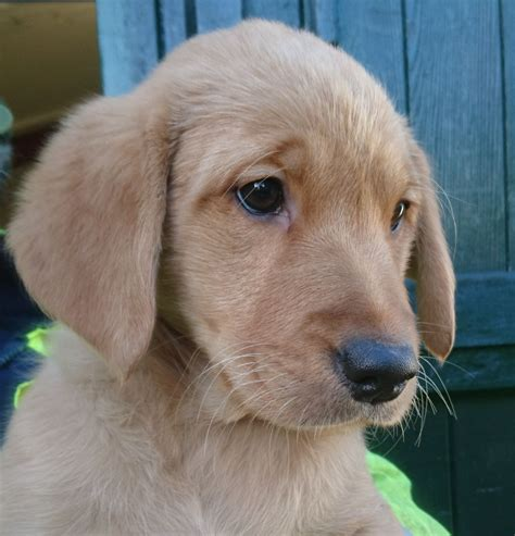 golden retriever x labrador puppies golden retriever x labrador puppies march cambridgeshire pets4homes