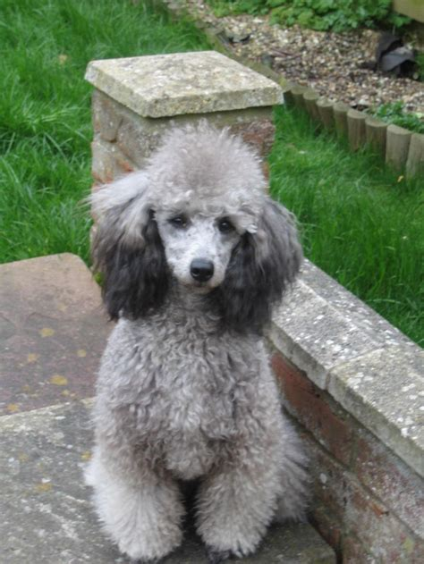 can my teacup poodle get the standard poodle haircut silver poodle jencro standard silver miniature poodles