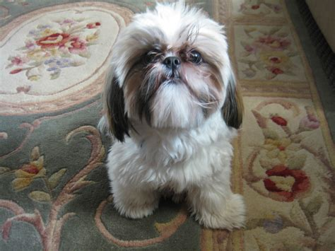 shih tzu and other dogs shih tzu on the carpet photo and wallpaper beautiful shih tzu on the carpet