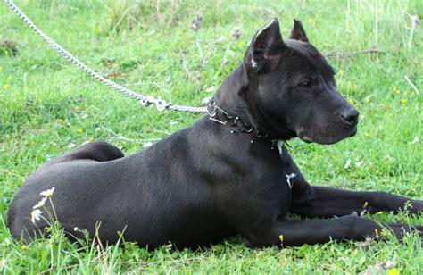 pitbull types different types of pit bulls