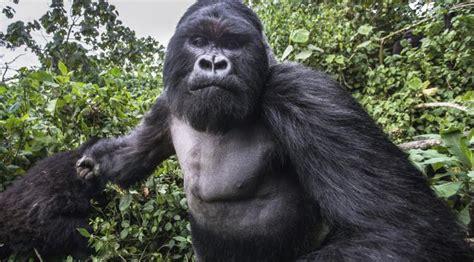 Gorilla Clone Dengan Embos 1 1 10 fakta mengagumkan tentang gorila viral bintang