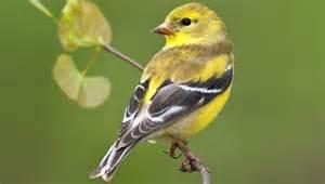 Backyard Birds Matthews Nc American Goldfinch Are Still Nesting Backyard Birds