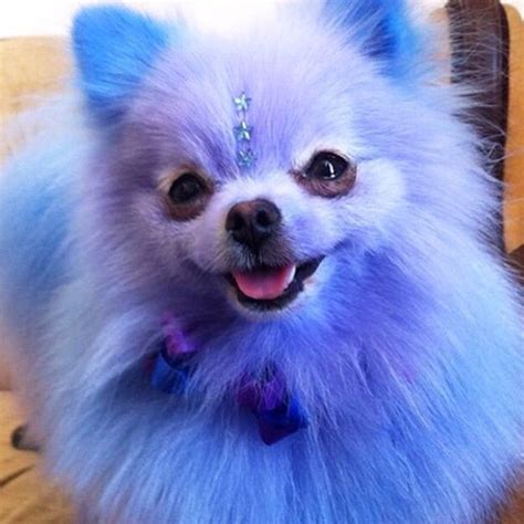 Blue Fluffy fluffy blue fur pomeranian puppy kawaii gems