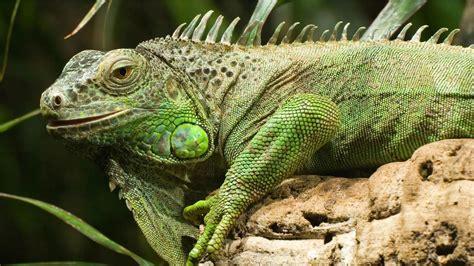 green iguana hd wallpapers backgrounds wallpaper abyss