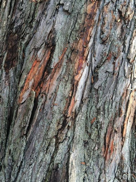peeling maple tree bark pattern texture up stock image image of tree 44041317