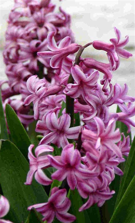 hyacinth tattoo designs hyacinth pictures pics images and photos for inspiration