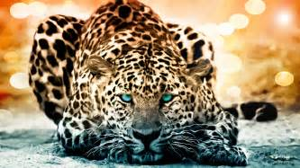Jaguar Leopard Cheetah Leopard Cheetah Jaguar Wallpaper