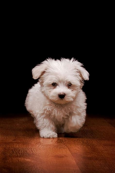 puppy wallpaper iphone iphone wallpaper pictures phone litle pups