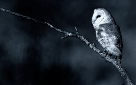 wallpaper black owl owl full hd wallpaper and background image 1920x1200