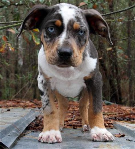 catahoula puppies for sale big k s catahoulas at gun directory