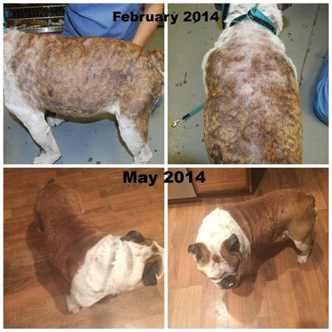 pemphigus foliaceus in dogs 1000 images about cats dogs pemphigus on we disorders and animals
