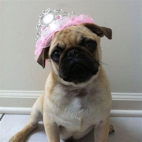 princess pug 17 best images about pugs pugs pugs on pug birthday pug and pug photos