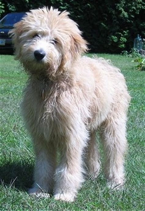 mini doodle drøbak miniature goldendoodle breed information and pictures