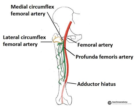 diagram of femoral artery arteries of the lower limb thigh leg foot