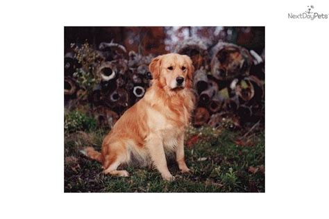 liberty run golden retrievers golden retriever puppy for sale in baltimore breeds picture