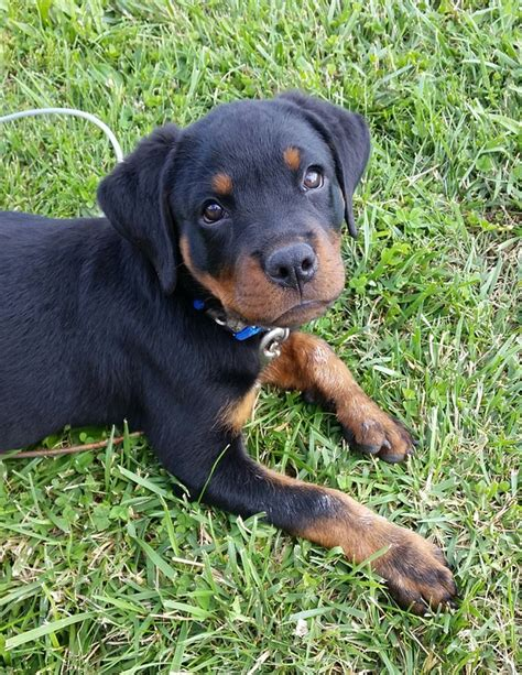 baby rottweiler free photo rottweiler puppy pet animal free image on pixabay 1106021