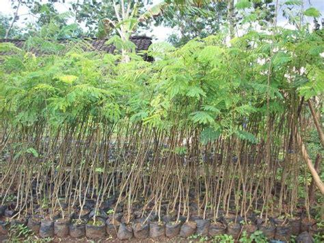Jual Bibit Sengon Di Semarang jual bibit sengon solomon di banjarmasin jual bibit tanaman dan jasa pembuatan taman