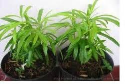 manfaat zodia evodia sauveolens tanaman asli papua