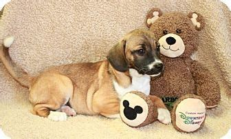pug maryland 17 best ideas about pug beagle mix on puggle puppies baby bulldogs and