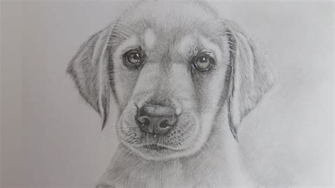 how to a lab puppy how to draw a realistic puppy labrador retriever real litle pups