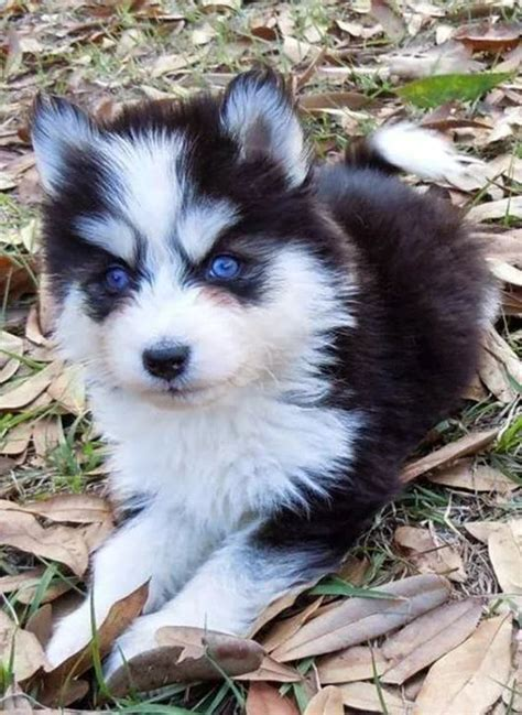 pomeranian x siberian husky 51 best images about husky pomeranian mix on siberian huskies huskies