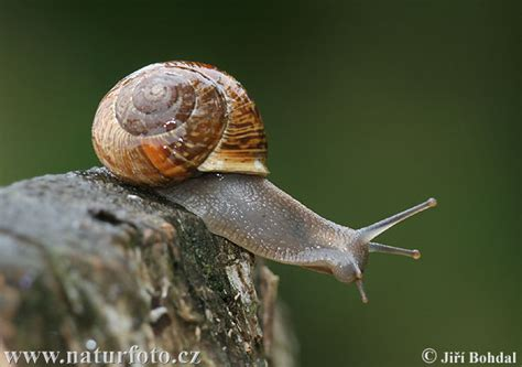 terrestrial snail pictures about animals land snail rate every animal