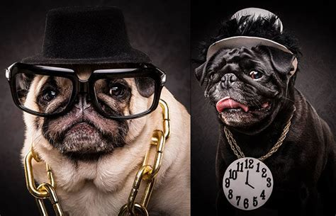 pugs names in the caign hip hop pug portraits the pug