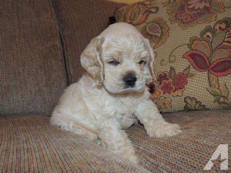 cocker spaniel puppies for sale indiana akc buff cocker spaniel puppy for sale in catlin indiana classified americanlisted