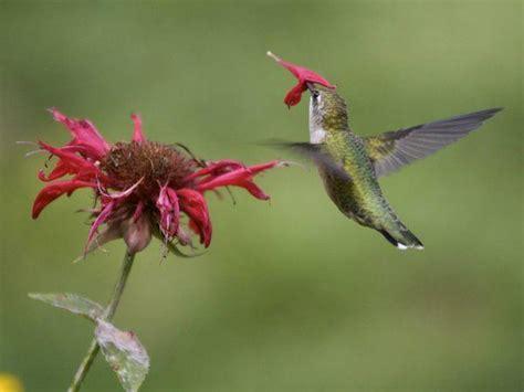 hummingbird pictures ndaluprasetyo iki