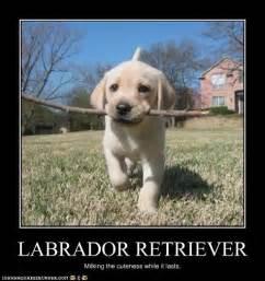 Labrador Meme - labrador retriever dream dog for my birthday or
