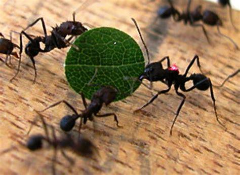 imagenes hormigas negras control biologico hormigas negras 6 1024286 viajes