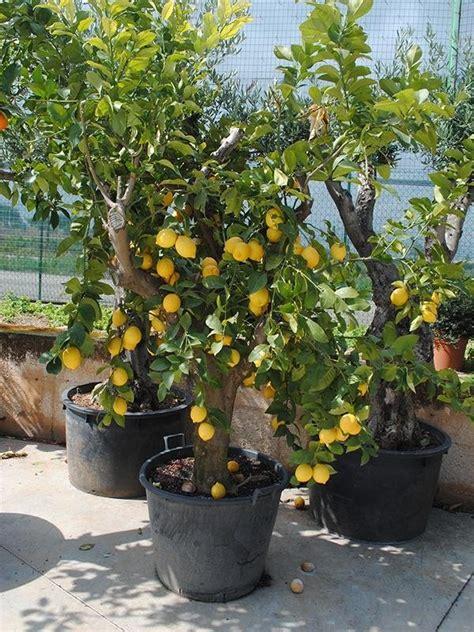 alberi per giardini vendita alberi da frutto polignano a mare bari vivai