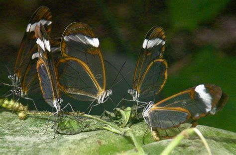 imagenes mariposas de cristal allpe medio ambiente blog medioambiente org mariposa de