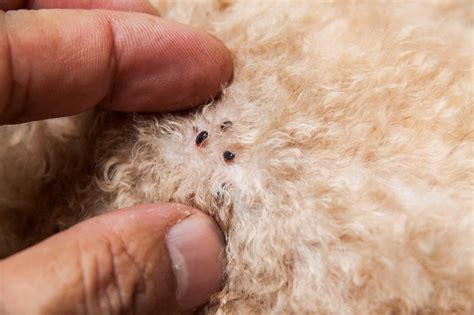 skin mites on dogs mite infestation tiny transparent parasite