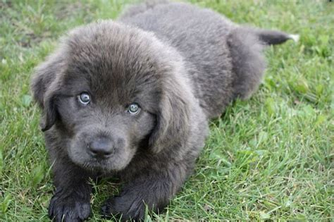 gray newfoundland puppies for sale gray newfoundland pictures breeds picture